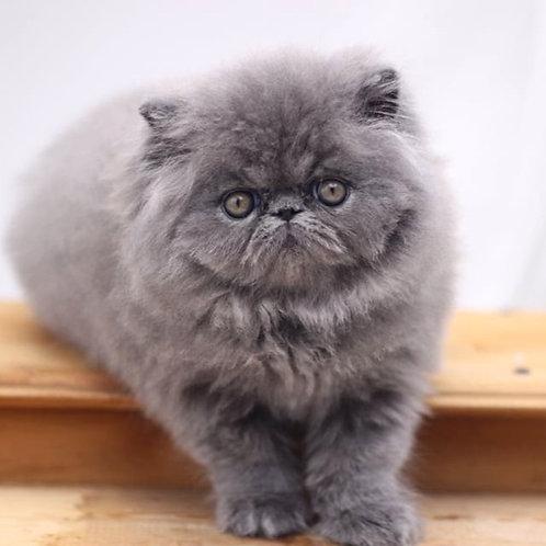 275 Graf Persian  male kitten