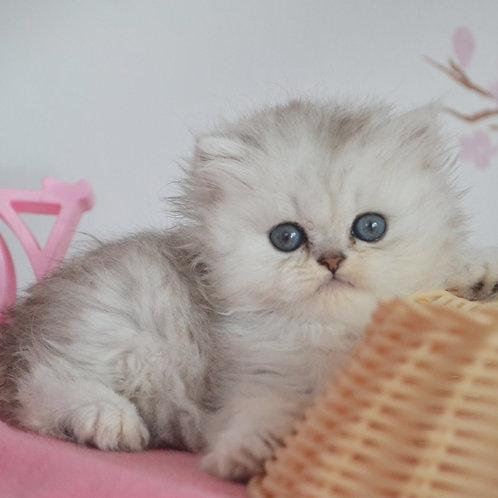 436 Milord  British longhair male kitten