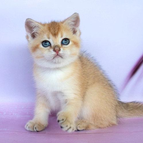 743 Dionis  British shorthair male kitten