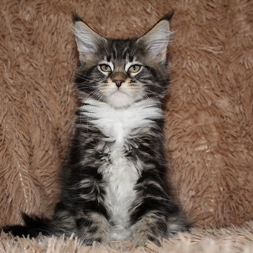 Hanny Maine Coon female kitten