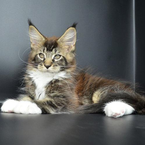 504 Bosfor Maine Coon male kitten