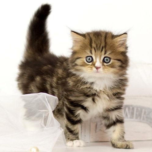 878 Rafael   Scottish straight longhair male kitten