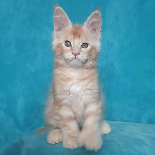 474 Intellect polidactil (6/6/6/6)  Maine Coon male kitten