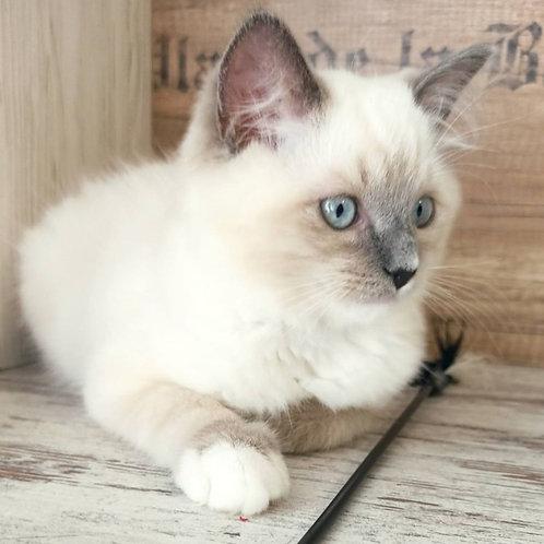 108 Uman    Ragdoll male kitten