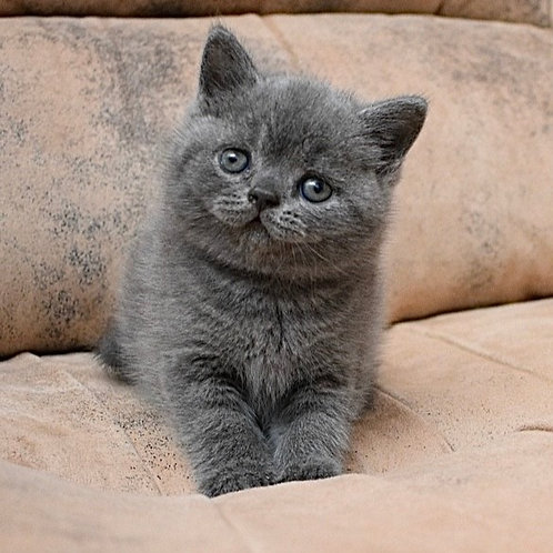 361 Vegas British shorthair male kitten