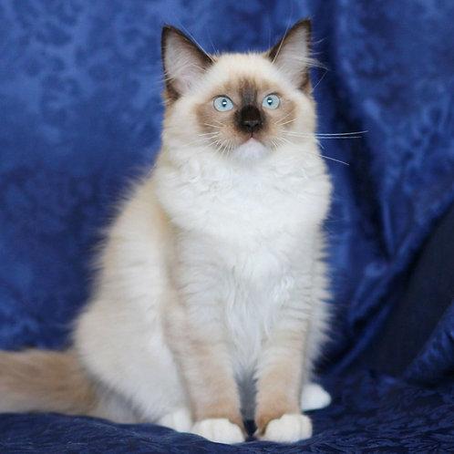 161 Beauty    Ragdoll female kitten