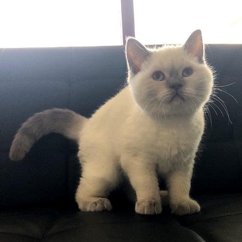 60 Izzi  Scottish straight shorthair male kitten