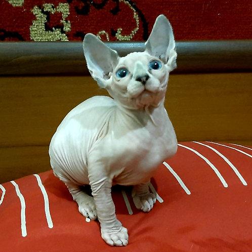 277 Cadman  male Sphinx kitten