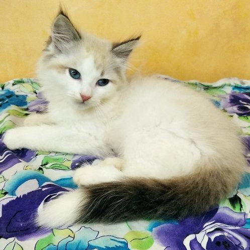 227 Nadym   Siberian male kitten