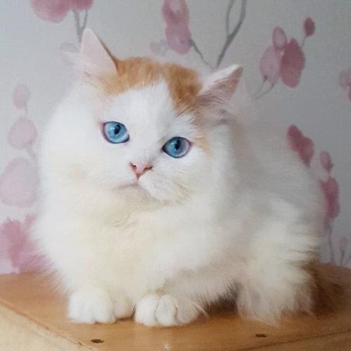 288 Odetta     Scottish straight longhair female kitten