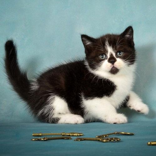 994 Flash   Scottish straight shorthair male kitten
