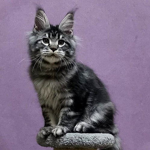 41 Thunder in Paradise Maine Coon male kitten