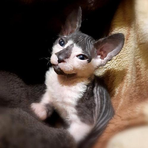 723 Agata Queen    female Sphynx Donskoy kitten