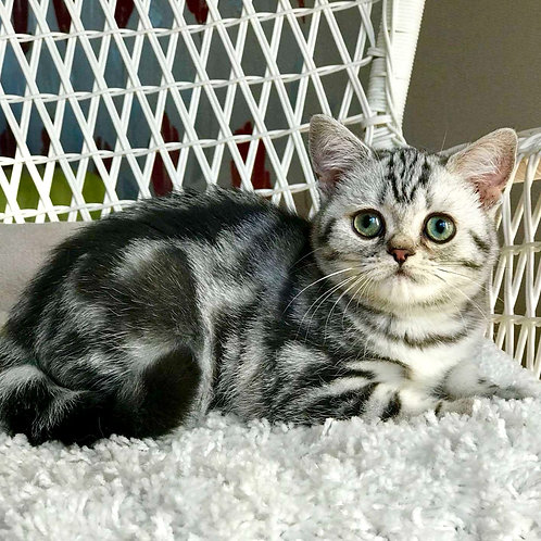 823 Queen  British shorthair female kitten