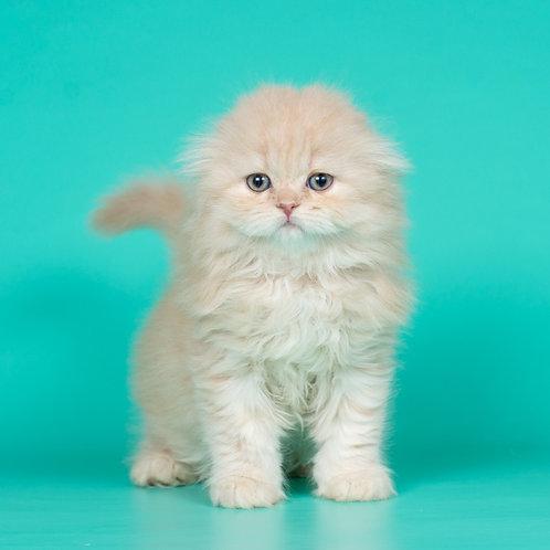 Evan Scottish fold longhair male kitten