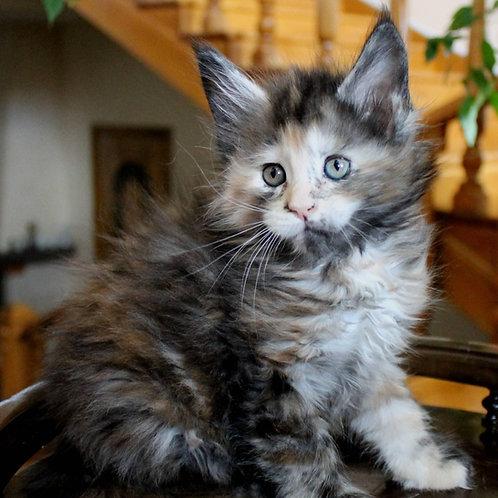 578 Businka Maine Coon female kitten