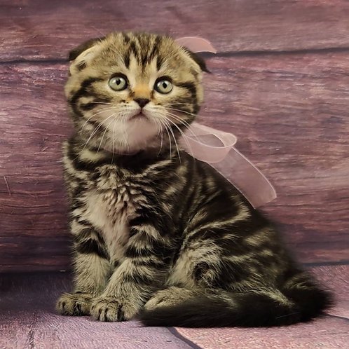 579 Emma   Scottish fold shorthair female kitten