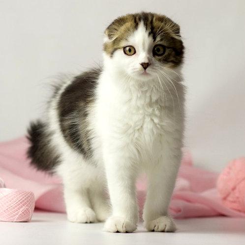 1035 Rosalina  Scottish fold longhair female kitten