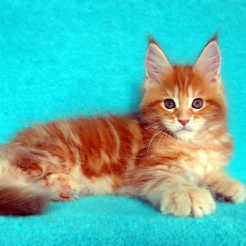 719 Iradion  Maine Coon male kitten