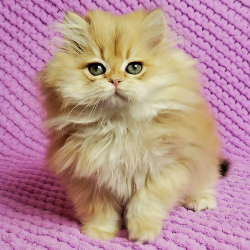 491 Levik   British longhair male kitten