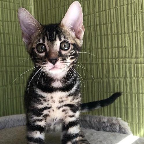 237 Xarriam  purebred Bengal female kitten