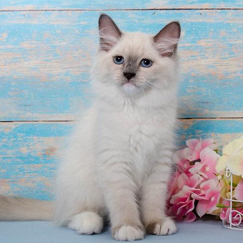 234 Oleina      Siberian female kitten