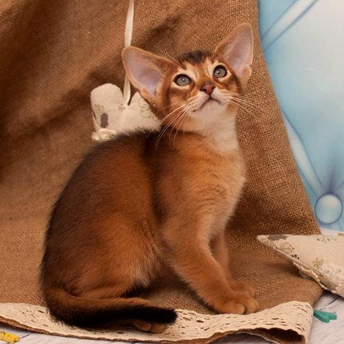 86 Federico   purebred Abyssinian male kitten