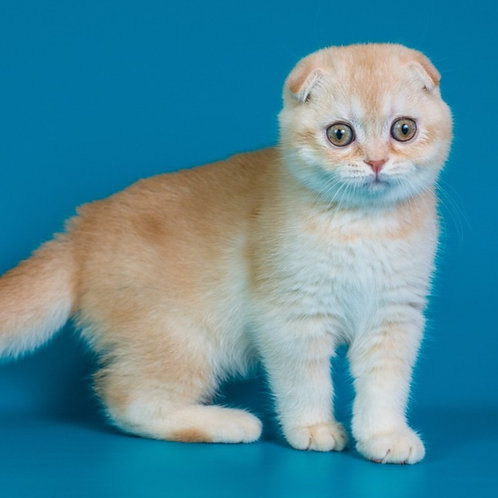 509 Irish Scottish fold shorthair male kitten