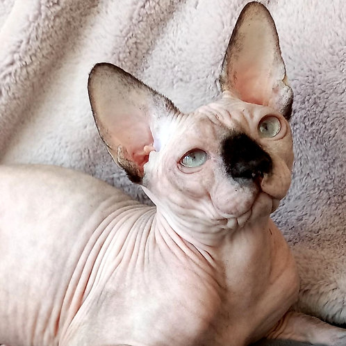 115 Maria     female Sphinx kitten