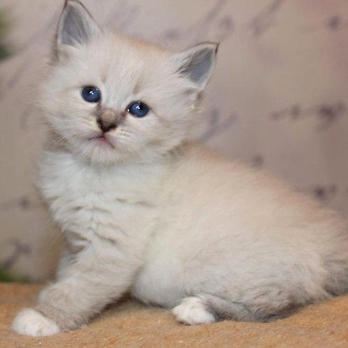 196 William      Siberian male kitten