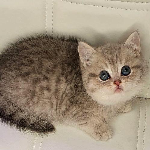 552 Humlet  British shorthair male kitten