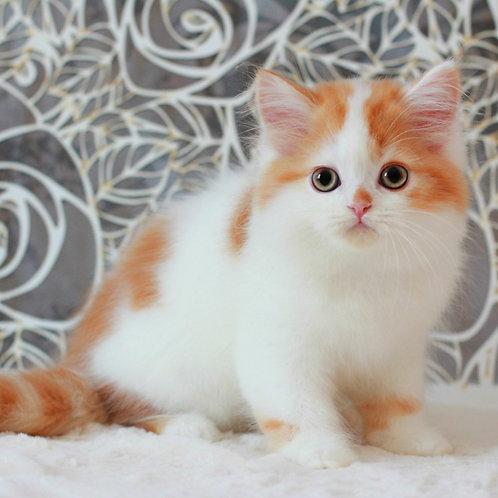 Boris Scottish straight longhair male kitten