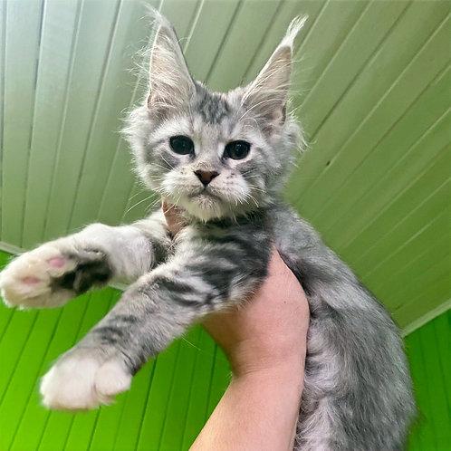 734 Mydord Maine Coon male kitten