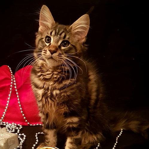 106 Gucci  Maine Coon male kitten