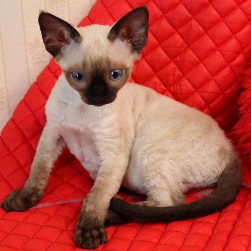 514 Alvis  male kitten Devon Rex