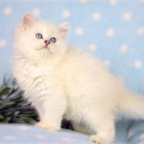 420 Patrick  British longhair male kitten