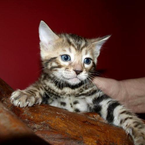 7 Durk  purebred Bengal male kitten