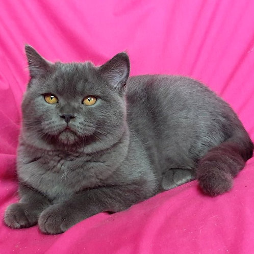 463 Marcipan      Scottish straight shorthair male kitten