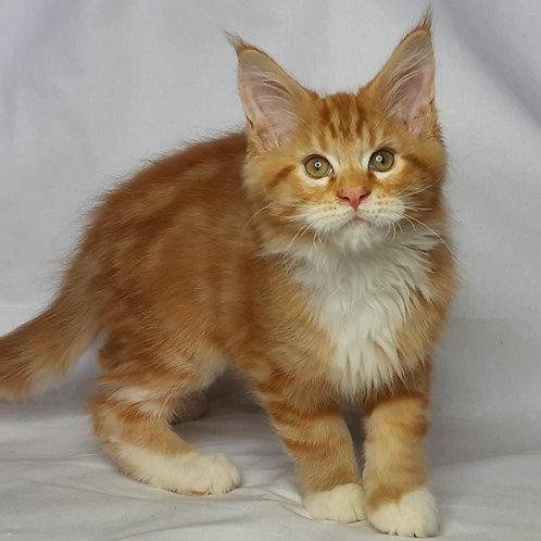 808 August Maine Coon male kitten