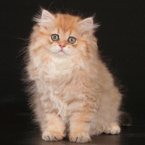774 Tabita  British longhair female kitten
