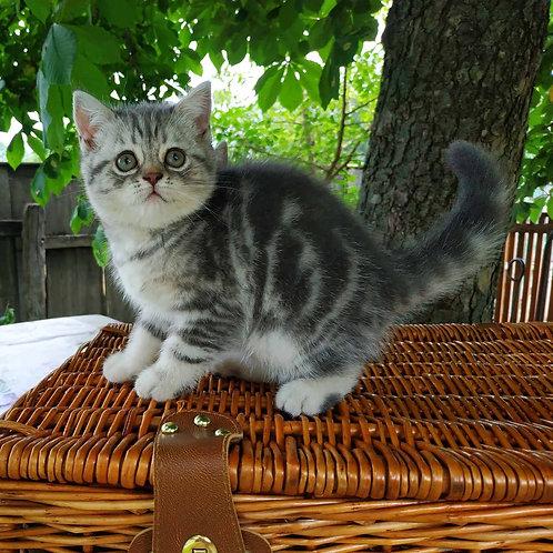 Asti Scottish straight shorthair female kitten