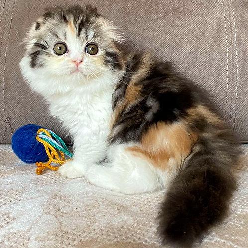 853 Puma  Scottish fold longhair female kitten