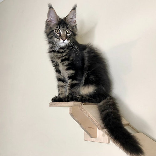 887 Hardy Maine Coon male kitten