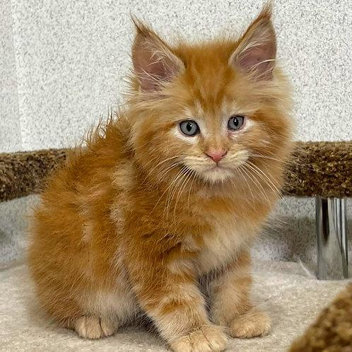 604 Sammy  Maine Coon male kitten