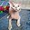 Thumbnail: 559 Sunny  male kitten Devon Rex