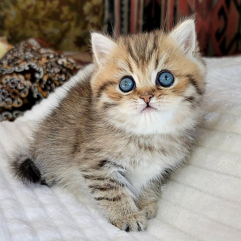 548 Vainona  British shorthair female kitten