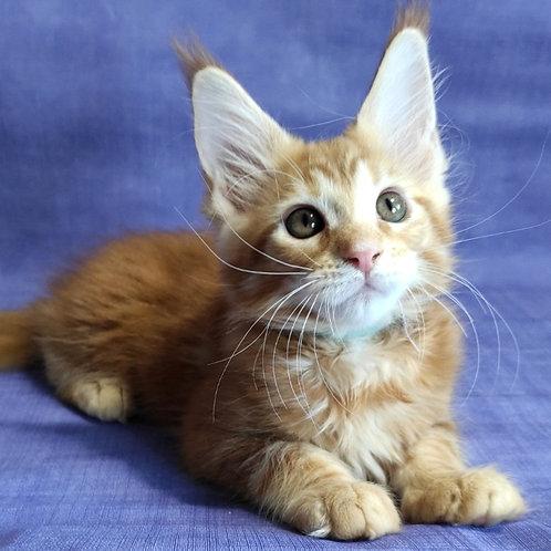 614 Betty  Maine Coon female kitten