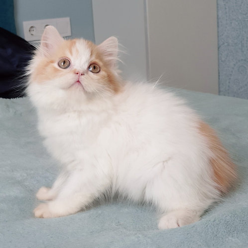 Jaff Scottish straight longhair male kitten