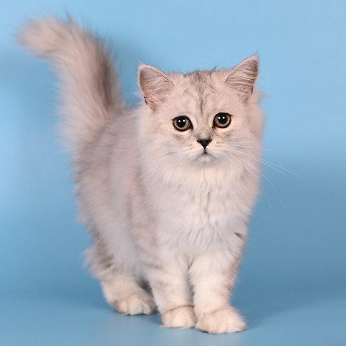 1047 Snowy  British longhair female kitten