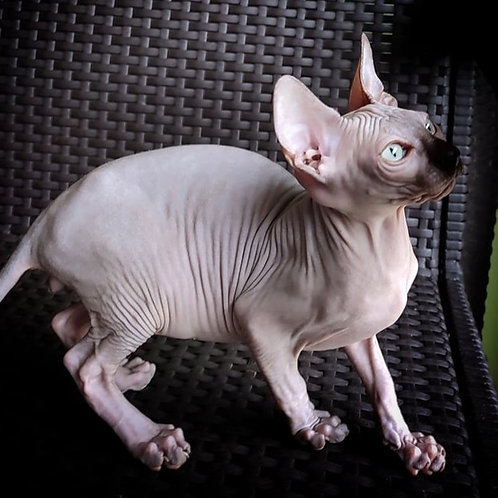 663 Diego male Sphynx   kitten